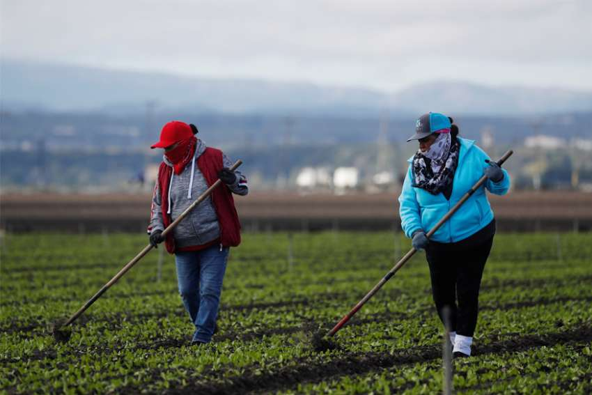 Migrant workers clean fields near Salinas, Calif., March 30, 2020, amid the coronavirus pandemic.