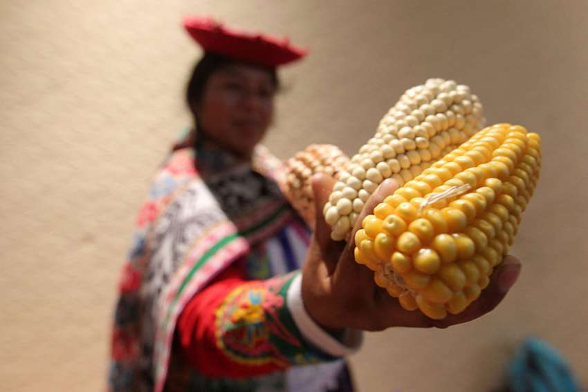 An indigenous woman in Cancun, Mexico, shows genetically modified corn Dec. 5, 2016.
