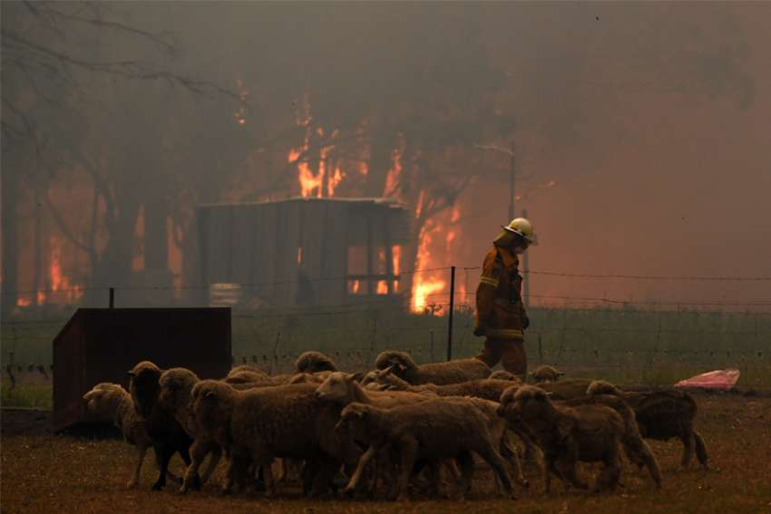 Sheep are seen as Rural Fire Service crews engage in property protection during wildfires along the Old Hume Highway near the town of Tahmoor, Australia, outside Sydney, Dec. 19, 2019. Wildfires have been burning since August and have destroyed an area comparable to the combined region of the Netherlands and Belgium.