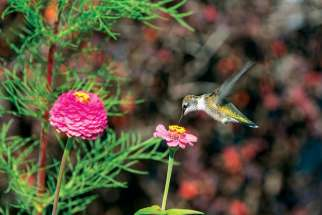 "One of nature's ""feathered miracles,"" a hummingbird, gathers nectar from a flower."