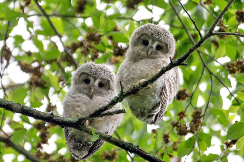 Ezo owl chicks sit in a tree just after leaving their nest on Hokkaido Island, Japan, June 11, 2014. Pope Francis plans to issue an encyclical on the environment later this year.
