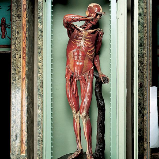 A life-size figure created out of real bones and colored wax is one of eight anatomical figures commissioned by 18th-century Pope Benedict XIV to teach the general public and artists about the human body. The figures, created by Italian physician-sculptor Ercole Lelli, are in the Poggi Museum in Bologna, Italy.