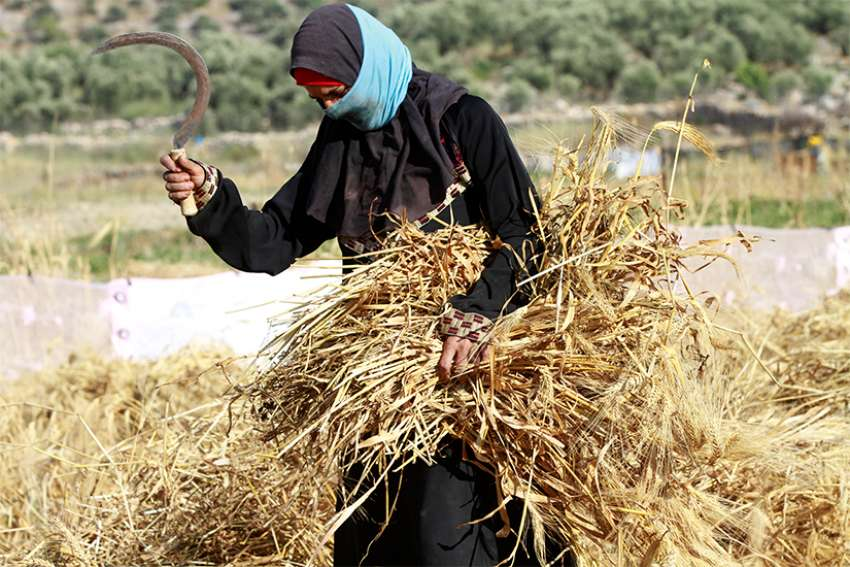 "A Palestinian woman harvests wheat by hand on a farm near Salfit, West Bank, in 2016. Education is essential in enabling women in every country ""to become dignified agents of their own development,"" said Archbishop Bernardito Auza, the Vatican's permanent observer to the United Nations Oct. 6 at U.N. headquarters in New York."