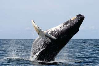 The humpback whale is just one species of marine life that has suffered from the pollution in Earth's oceans.