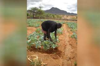 Joseph Kapua clears weeds from around greens growing in a community garden in Kipsing. Kenya. Kapua learned how to farm as part of an experiment to help his community expand its economic base from its traditional animal herding.