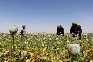 Afghan farmers extract opium to be processed into heroin in Helmand province, Afghanistan, April 7. A Catholic bishop in southern Mexican has called for compassion toward the impoverished populations harvesting opium poppies out of necessity, saying such people are not sinners and are neglected by the government.