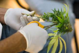 A horticulturalist clips leaves off stems during harvesting of buds from marijuana plants being grown for medical use in 2009 at the Oaksterdam University in Oakland, Calif. In a letter to lawmakers, Bishop Richard E. Pates of Des Moines, Iowa, said he supports the use of medical marijuana.