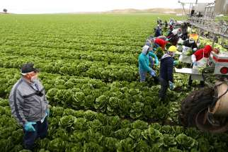 Migrant farmers with visas harvest romaine lettuce in King City, Calif., April 17. Canada also imports thousands of temporary and seasonal agricultural workers from the Caribbean and Latin America each year, the majority on eight-month permits.